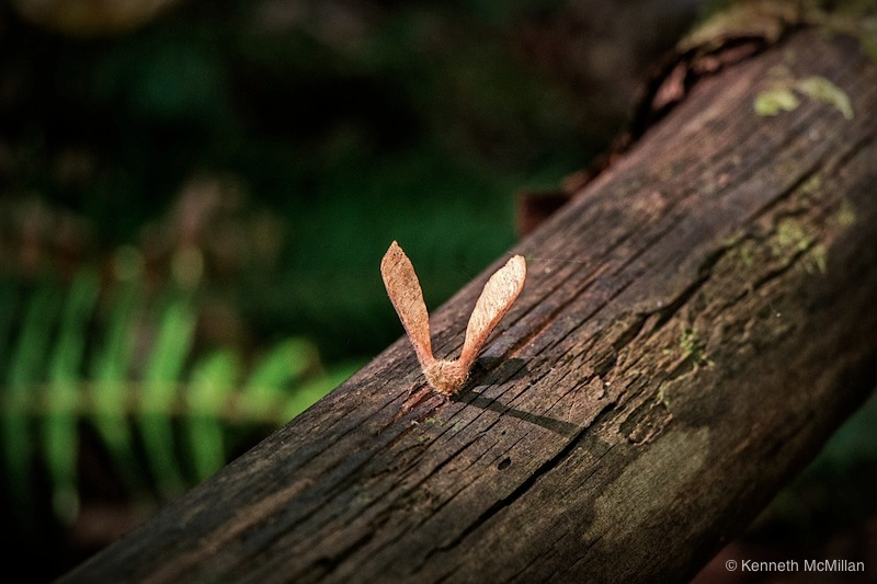 A Broadleaf Maple seed pod that has made great landing on a log, unfortunately not too conducive for reproduction.