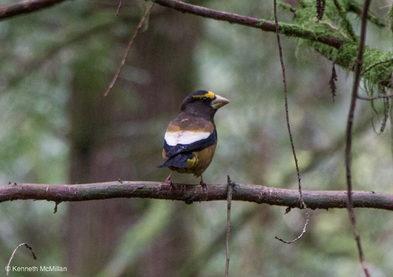 Evening Grosbeak (Coccothraustes vespertinus)_watermarked