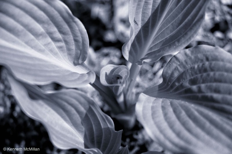 Hosta_watermarked
