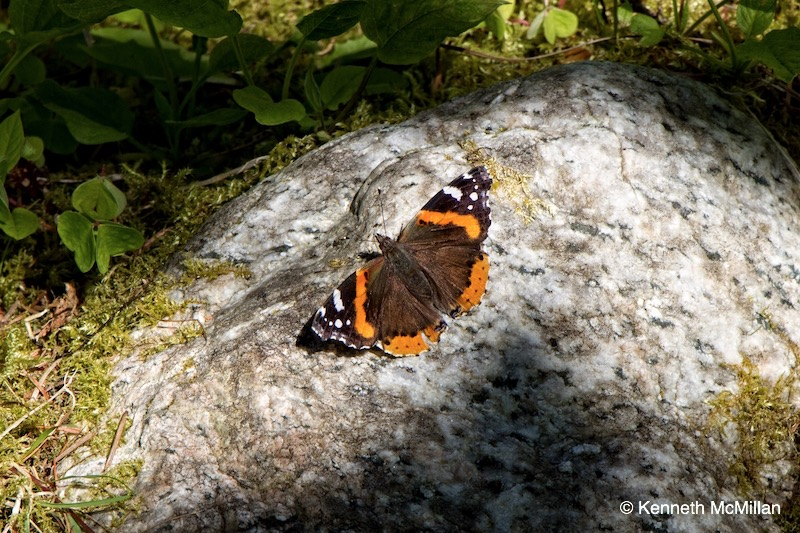 Butterfly - Red Admiral (Vanessa atalanta)_watermarked