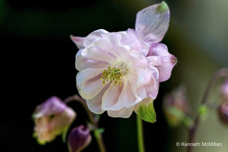 Columbine 03_watermarked