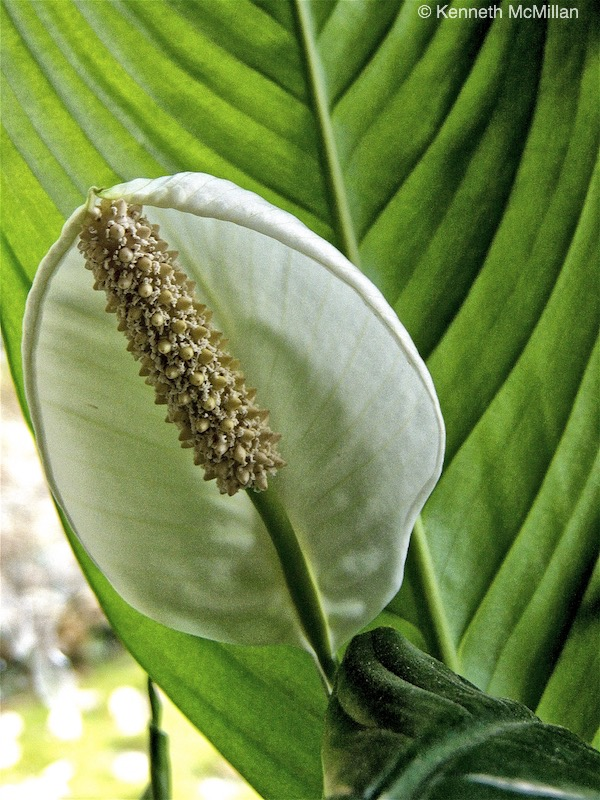 Peace Lily_watermarked