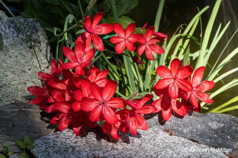 Scarlet River Lily (Schizostylis coccinea)_watermarked
